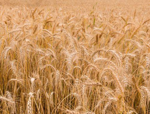 Exceso de nitrógeno en el trigo y celiaquía